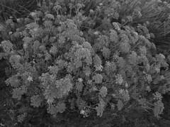 fonoll mari (the incredible how (intermitten.t)) Tags: crithmummaritimum fonollmari rocksamphire samesquida menorca espaa balearicislands baleares illesbalears minorca calamesquida 20160925 8201 espana espaa corncarwrmor ffeniglymor