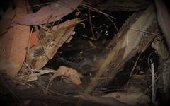 Corasoides australis [possibly C. terania] (dustaway) Tags: australianspiders corasoidesaustralis spiderweb nightcapnationalpark nightcaprange northernrivers nsw australia nature arachnid spiders arthropoda arachnida araneae araneomorphae spinne desidae platformspider