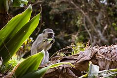 Monkeys at Gazeka Cottage
