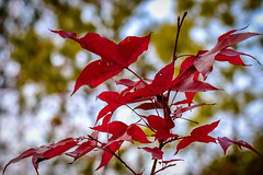 Red Leaves (chriscwy) Tags: canon hongkong eos  70d 18135mm