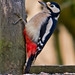 Woodpecker great spotted woodpecker Dendrocopos major fem Tittesworth North Staffordshire 02/12/14