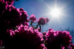 Purple Rhodondendron against the sun (Kees W) Tags: purple sunstar rhodondendron