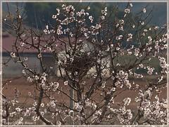 Frhling * Spring * Primavera  .P1130763-001 (maya.walti HK) Tags: espaa plants primavera spring spain plantas pflanzen spanien frhling almondblossom 2015 mandelblten flordealmendro 230215 panasoniclumixfz200 copyrightbymayawaltihk