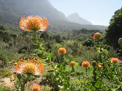 Pincushion at Kirstenbosch Botanical Gardens (D-Stanley) Tags: southafrica pincushion capepeninsula kirstenboschbotanicalgardens