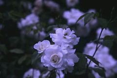 Under Pale Moonlight (asmik Khurshudyan ovLoree) Tags: flowers roses nature beautiful beauty rose garden photography spring tears blossom secret under lovers bloom belle raindrops moonlight mystic paleblue rosarium whiteroses hasmik dropsonflowers lovloree