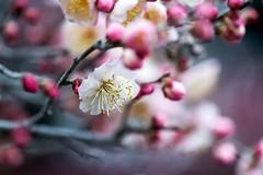 ウメノハナ (mako_peko) Tags: flower nature japan canon spring bokeh 100mm ume 梅 plumblossoms 春 3月 和風