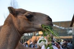 Chow time for a Dromedary (Camel) (oldandsolo) Tags: fauna zoo uae dromedary camel abudhabi unitedarabemirates herbivore ungulates zoologicalgardens dromedarycamel animalfeeding camelusdromedarius arabiancamel feedingstation emiratesparkzoo samhaabudhabi