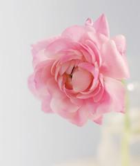 (.Jackie.) Tags: pink flowers stilllife floral ranunculus vase