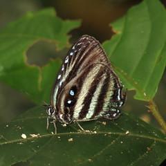 Enos polka (hippobosca) Tags: enospolka butterflies butterfly ecuador insect insects lepidoptera lycaenidae macro schmetterling hairstreak