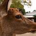 鹿 / Shika Deer