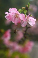 VVP_0001 (HL's Photo) Tags: plant flower nature insect bee sakura taipei   sys blooming