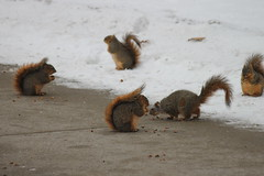 Squirrels on Paczki Day at the University of Michigan (February 17, 2015) (cseeman) Tags: squirrels annarbor michigan animal campus universityofmichigan umsquirrels02162015 winter eating peanut snow cold paczkiday paczki fattuesday doughnuts treats paczkiday2015 paczki2015 paczkisquirrel2015 februaryumsquirrel gobluesquirrels umsquirrel foxsquirrels easternfoxsquirrels michiganfoxsquirrels universityofmichiganfoxsquirrels