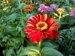 Zinnia Elegans (jeanette.horvath //Jeanne//) Tags: flowers red summer flower nature colors beautiful beauty sunshine colorful colours bloom flowering colourful blooming zinniaelegans