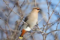 Cedar Waxwing (PerfumeG2011 (on and off )) Tags: canada cold bird nature birds nikon québec laval waxwing cedarwaxwing photomatixpro tonemapping capturenx nikond7000 lavalquébec lightroom5