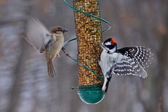 Nature Photography Program (Winter): House Sparrow and Downy Woodpecker (Forest Preserve District of Will County) Tags: county bird nature creek forest woodpecker grove district wildlife plum center will sparrow downy preserve goodenow