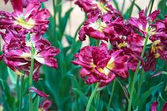 _DSC9342 (aeschylus18917) Tags: flowers flower nature japan spring tulip   tulipa ibaraki 80400mm liliaceae hitachinaka cultivar ibarakiken     hitachinakashi hitachiseasidepark danielruyle aeschylus18917 danruyle druyle   kokueihitachikaihinken