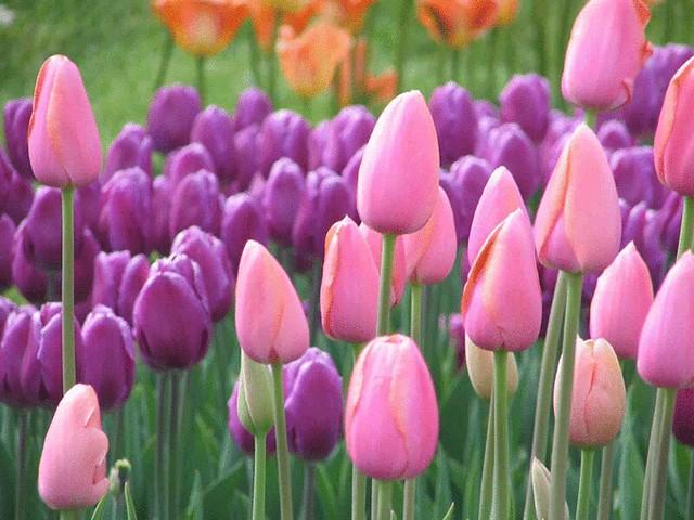tulip-1