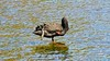 AND THERE... (Rose Frankcombe) Tags: preening australia tasmania blackswan launceston firstbasin cataractgorgereserve rosefrankcombe