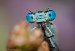Ol' Blue Eyes Is Back (Eddie The Bugman) Tags: nottingham blue macro closeup bug insect damselfly canonmpe65mm odonata zygoptera westbridgford commonbluedamselfly enallagmacyathigerum focusstack canon5dmkii canon430exii zerenestacker edwardnurcombe eddiethebugman
