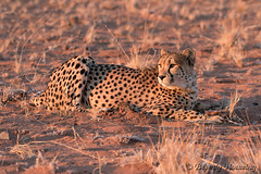 161-Cheetah_Dunes-010 copy (Beverly Houwing) Tags: africa sunset red face cat feline desert stare cheetah sanddune namibia crouching