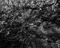 Light cascades on a drooping oak branch (Hyons Wood) (Jonathan Carr) Tags: light bw white abstract black tree monochrome leaves analog rural landscape oak falling fallen 4x5 abstraction northeast largeformat toyo 5x4 fomapan ancientwoodland hyonswood