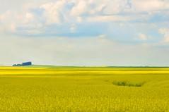 Canola fields in bloom - North Dakota (JanGeisen) Tags: north photograph dakota canola corel digitalmanipulation d90 jangeisen
