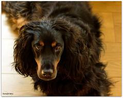Beautiful Boy (renagade27) Tags: dog doggy mydog d300 nikon35mmf18g spanieltannikon