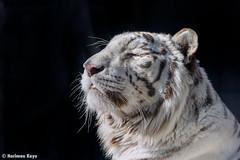 Rocky  - One Fine Day (Harimau Kayu (AKA Sumatra-Tiger)) Tags: rocky kara tiger zoo animal bigcat bigcats feline bengaltiger pantheratigristigris knigstiger indischertiger eltigredebengala tigredubengale latigrerealedelbengala   whitetiger weisertiger tigreblanco tigreblancroyal   zooshot tobu tobuzoo snowwhite sunbathing canada playful playfulcat playfultiger playfulwhitetiger bengal genesimmons rockstar