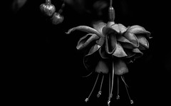 Ephemere BW dark.jpg (haalkab) Tags: nopeople nature leaf artistry red desktop colorful flora growth bw petal haalkab suspended closeup floral metallic purple light garden love flower xochimilco affiche beautiful bright dark abstract 500px pink green elegant mexico tropical surreal blancoynegro monocromtico fondonegro