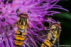 Hoverfly_Episyrphus balteatus05.jpg (T9FURY) Tags: july hoverfly rutlandwater 2016 episyrphusbalteatus