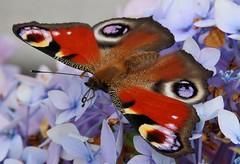 Tagpfauenauge (Aglais io) (Hugo von Schreck) Tags: macro butterfly insect outdoor falter makro insekt masterpiece schmetterling tagpfauenauge yourbestoftoday onlythebestofnature aglaisio tamron28300mmf3563divcpzda010 canoneos5dsr hugovonschreck