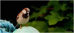 Stand Alone I (lukiassaikul) Tags: wildlifephotography wildanimals wildbirds urbanwildlife birds smallbirds housebirds gardenbirds sparrow housesaprrow