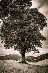 sycamore maple (blaendwaerk) Tags: sycamore maple acer pseudoplatanus bergahorn mountain canon eos 650d 1750mm austria sterreich berg alpen alps tree plant bw sepia
