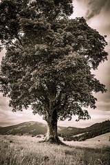 sycamore maple (blaendwaerk) Tags: sycamore maple acer pseudoplatanus bergahorn mountain canon eos 650d 1750mm austria sterreich berg alpen alps tree plant bw sepia