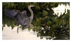 great blue heron (Christian Hunold) Tags: bird philadelphia heron greatblueheron johnheinznwr wadingbird kanadareiher christianhunold