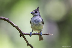 Crested Titmouse (NBTXN) Tags: grey texas birding gray feathers twig titmouse cuteness birdwatching backyardbirding crestedtitmouse