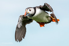 Puffin in flight D50_1961.jpg (Mobile Lynn) Tags: nature birds puffin wild bird fauna fratercula wildlife farneislands northumberland england gb coth specanimal sunrays5