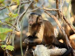 Monkey Business (peet-astn) Tags: bushbabiesmonkeysanctuary bush babies monkey sanctuary smile eyes monkeybusiness capuchinmonkey capuchin