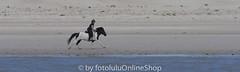 Hauspferd_Equus przewalskii caballus-404 (fotolulu2012) Tags: equidaepferde equusprzewalskiifcaballus hauspferd nordsee perissodactylaunpaarhufer schleswigholstein tierfotos wattenmeer fotografen fotolulu fotolulude tierbilder wildlifephotography wildlifepictures wildtiere