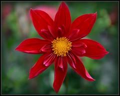Red Dahlia (Ernie Misner) Tags: dahlia pointdefiancepark washington tacomawashington tacoma erniemisner flower closeup frame border nik capturenx2 cnx2 f8andbethere