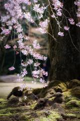 Spring Time (@Mahalarp) Tags: japan cherryblossom flower garden koishikawa korakuen sakura season soft spring tokyo fujifilm xt1