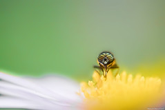 (March Hare1145) Tags: insect  macro