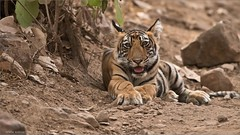 Young wild tiger in India (Raymond J Barlow) Tags: tiger india wildlife raymondbarlow travel adventure phototours