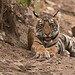 Young wild tiger in India