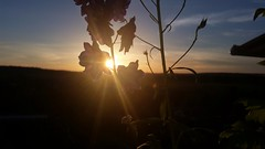 Rittersporn mit Sonnenuntergang (eagle1effi) Tags: s5 sunset delphinium rittersporn experiment