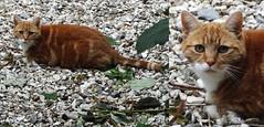 Ginger Pussycat Alert. (bazzadaramblerimages) Tags: cat feline puss pussy pussycat