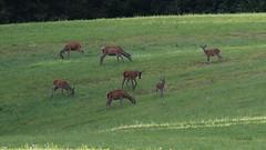Jelenjad (natalija2006) Tags: jelenjad red deer cervus elaphus koutarija kouta tele hind calf divjad wildlife narava nature slovenia