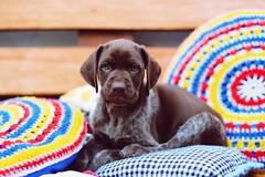 Chimanga amor  (Alita Garca) Tags: gsp germanshorthairpointer bracoaleman kurzhaar cachorro cachorros perro dog mydog miperria