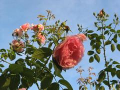Ewiger Vater, dein liebreich' Gemte (amras_de) Tags: rose rosen rua rosa rue rozo roos arrosa ruusut rs rzsa roe rozes rozen roser rza trandafir vrtnica rosslktet gl blte blume flor cvijet kvet blomst flower floro is lore kukka fleur blth virg blm fiore flos iedas zieds bloem blome kwiat floare ciuri flouer cvet blomma iek