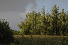 Auwald im Ostermoor; Seeth, Stapelholm (1) (Chironius) Tags: seeth stapelholm nordfriesland schleswigholstein deutschland germany allemagne alemania szlezwigholsztyn niemcy rosids fabids malpighienartige malpighiales weidengewchse salicaceae weiden weide salix osier willow marsault saule sauce salice salcio   st wilg  baum bume tree trees arbre  rbol arbres  rboles albero rvore aa boom trd commeliniden ssgrasartige poales ssgrser poaceae schilfrohre gras grser herbe gramines grass grasses erba   reet schilf